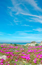 Flowers in platamona beach with pink on a spring day Royalty Free Stock Photos