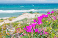 Flowers in platamona pink shore Stock Photos