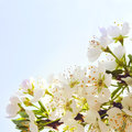 Flowers plum blue sky Stock Images