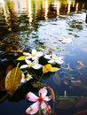 Flowers in the pool on the water and tree leaf Royalty Free Stock Image