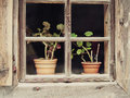 Flowers in a pot behind window on windowsill. Royalty Free Stock Photo