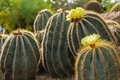 Flowers of prickly pear yellow flower in full bloom Royalty Free Stock Image