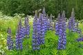 Flowers Of Purple Lupins