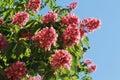 Flowers Red Chestnut Closeup