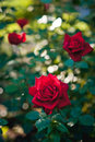 Flowers Red Roses Royalty Free Stock Image