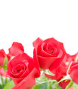 Flowers of red roses on white background Stock Images