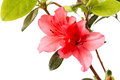 Flowers rhododendron pink isolated on white background Royalty Free Stock Photo