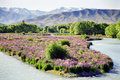 Flowers on riverbed, New Zealand Stock Photography