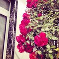 Flowers rose red beautiful Royalty Free Stock Photo
