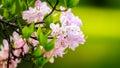 Flowers of sakura Royalty Free Stock Photo