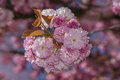 Flowers sakura spring pink blossoms Royalty Free Stock Photo