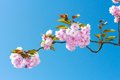 Flowers sakura spring pink blossoms cherry or under a pure blue sky Stock Photo