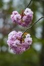 Flowers sakura spring pink blossoms Royalty Free Stock Photo