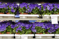 Flowers for sale bluebells campanula napoli displayed a at market or garden centre Stock Photo