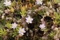 Sea Spurrey, Spergularia rupicola Royalty Free Stock Photo