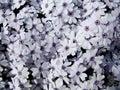 Flowers In Slovakia