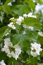 Flowers of snowball tree viburnum opulus blooming in the garden Stock Photos