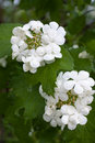Flowers of snowball tree viburnum opulus in the garden blooming Stock Photos