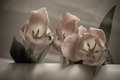 Flowers of soft pink tulips with muted colors and leaves Stock Image