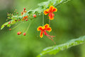 Flowers splendid gulmohar in thailand Royalty Free Stock Photos
