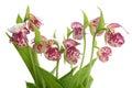 Flowers of the Spotted Lady's Slipper (Cypripedium guttatum) Royalty Free Stock Photo