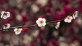 Flowers in spring series: white plum ( Bai mei in Chinese) bloss Royalty Free Stock Image