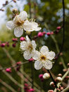 Flowers in spring series: white plum ( Bai mei in Chinese) bloss Stock Image