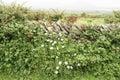 Flowers Between Stone Wall, Ir...