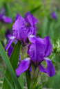 Flowers of Stool Iris Stock Photo