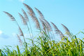 Flowers of sugar cane in the wind Royalty Free Stock Photo