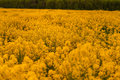 The flowers on the summer meadow sea of yellow a Stock Photography