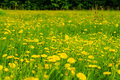 The flowers on the summer meadow yellow in green grass Stock Image