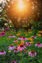 Flowers at sunset in garden Stock Photo