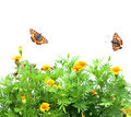 Flowers Tagetes patula and butterflys Royalty Free Stock Photos