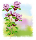 Flowers thyme. Stock Photos