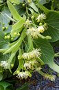 Flowers of the Tilia or Linden tree Royalty Free Stock Photo