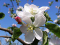 Flowers on a tree in a spring garden white apple Royalty Free Stock Image