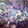 Dogwood blooming trees in the spring pink and white flowers on trees Royalty Free Stock Photo