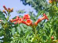 Flowers of Trumpet creeper or Campsis radicans close-up, selective focus, shallow DOF