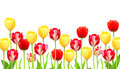 Flowers tulips isolated over white Royalty Free Stock Images