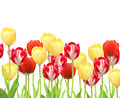 Flowers tulips isolated over white Royalty Free Stock Image