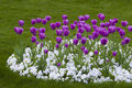 Flowers tulips and pansies purple white on the green grass Royalty Free Stock Image