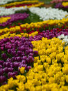 Flowers tulips photo aleek of different colors look beautiful Stock Images