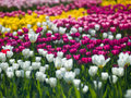 Flowers tulips photo aleek of different colors look beautiful Royalty Free Stock Photo