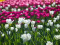 Flowers tulips photo aleek of different colors look beautiful Stock Photography