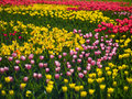 Flowers tulips photo aleek of different colors look beautiful Royalty Free Stock Image
