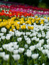 Flowers tulips photo aleek of different colors look beautiful Stock Photo