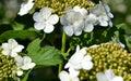 Flowers viburnum (Viburnum opulus) Stock Image