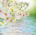 Flowers water japanese orchid beauty flora card Royalty Free Stock Photos