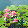Flowers of water lilies Royalty Free Stock Photo